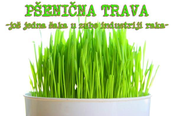 pšenična-trava-zelena-rak-uzgoj