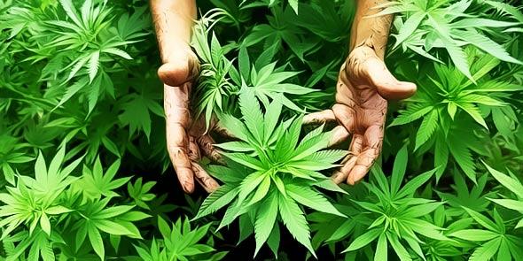 marihuana-kanabis