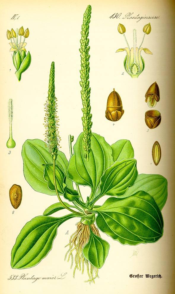 bokvica-biljka