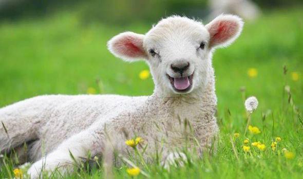 ovca-placa-cuvanje